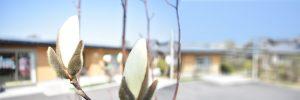 畷ケアサービスの木蓮の花